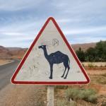 In der Todra Schlucht leben auch Kamele.