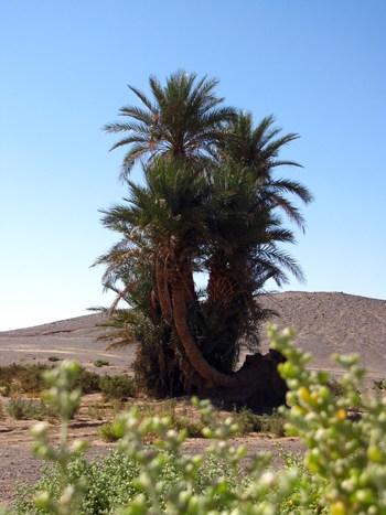 Eine Palme in der Wüste Erg Chebbi.