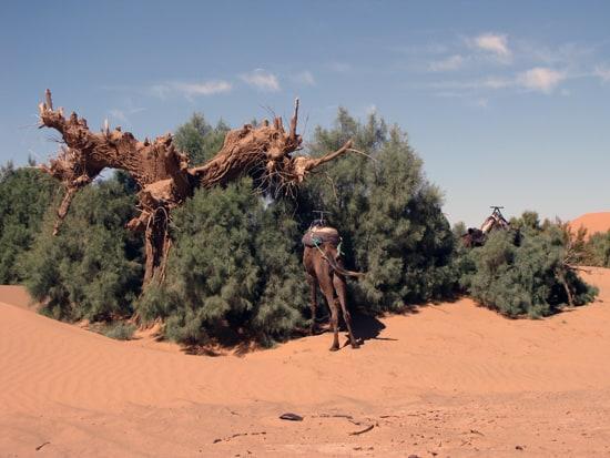 Ein Kamel sucht sich ein schattiges Plätzchen in der Wüse Erg Chebbi.